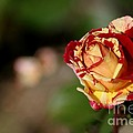 George Burns Rose by Living Color Photography Lorraine Lynch