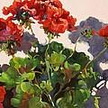 Geraniums And Shadows by Elizabeth Taft