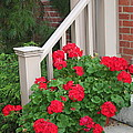 Geraniums On The Steps by Laurel Talabere