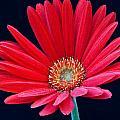 Gerbera Daisy 1 by Douglas Barnett