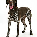 German Pointer by Mark Taylor