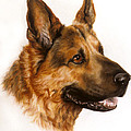 German Sheppard by Patricia Ivy