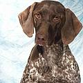 German Shorthaired Pointer 953 by Larry Matthews
