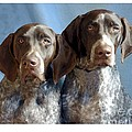 German Shorthaired Pointers 127 by Larry Matthews