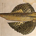 Gesner Flying Fish Old Illustration by Paul D Stewart