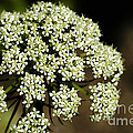 Giant Buckwheat Flower by Raul Gonzalez Perez