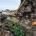 Giant Green Sea Anemone Anthopleura by Konrad Wothe