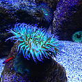 Giant Green Sea Anemone by Mariola Bitner