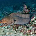 Giant Moray Eel Swimming by Mathieu Meur