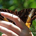 Giant Owl Butterfly In Hand by Roy Williams
