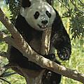 Giant Panda Ailuropoda Melanoleuca by San Diego Zoo