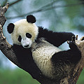 Giant Panda Cub Resting In A Tree by Cyril Ruoso