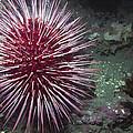 Giant Red Sea Urchin by Derek Holzapfel