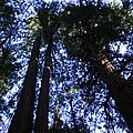 Giant Redwoods, Muir Woods, California by Aidan Moran