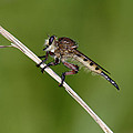 Giant Robber Fly - Promachus Hinei by Daniel Reed