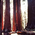Giant Sequoia by Stephen Whalen