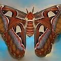 Giant Silk Moth by William Bartholomew