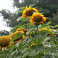 Giant Sunflowers by Smilin Eyes  Treasures