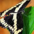 Giant Swallowtail Butterfly by Bill Dodsworth
