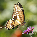 Giant Swallowtail Butterfly by Robert E Alter Reflections of Infinity