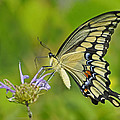 Giant Swallowtail by Rodney Campbell