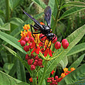 Giant Wasp by S Paul Sahm