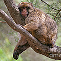 Gibraltar Barbary Macaque by Mark Taylor