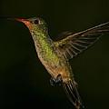 Gilded Hummingbird In Flight by Bruce J Robinson