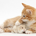 Ginger Kitten And Russian Hamster by Mark Taylor