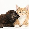 Ginger Kitten And Toy Poodle by Mark Taylor