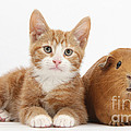Ginger Kitten With Red Guinea Pig by Mark Taylor