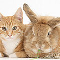 Ginger Kitten With Sandy Lionhead-cross by Mark Taylor