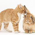 Ginger Kitten With Sandy Lionhead Rabbit by Mark Taylor