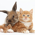 Ginger Kitten Young Lionhead-lop Rabbit by Mark Taylor