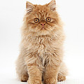 Ginger Persian Kitten by Mark Taylor