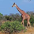 Giraffe Against Blue Sky by Tony Murtagh