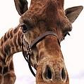 Giraffe Big Nose by Jeepee Aero