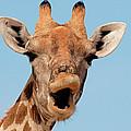 Giraffe Calling by Malcolm Schuyl