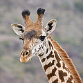 Giraffe Close-up by Howard Kennedy