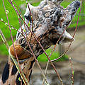 Giraffe Eating by Randy Harris