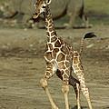 Giraffe Giraffa Camelopardalis Juvenile by Zssd