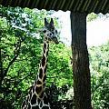 Giraffe by Samantha L