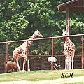 Giraffes by Lee Hartsell