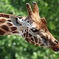 Giraffe's Tongue by Tilen Hrovatic