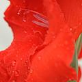 Gladiolus by Joan Powell
