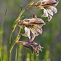 Gladiolus Maculatus Flowers by Peter Chadwick