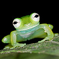 Glass Frog 01 by Brian Lee