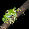 Glass Frog 02 by Brian Lee