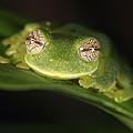 Glass Frog Centrolene Tayrona, Sierra by Cyril Ruoso
