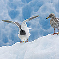 Glaucous-winged Gull Larus Glaucescens by Konrad Wothe
